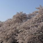 熊谷桜堤④