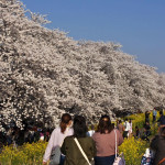 熊谷桜堤②